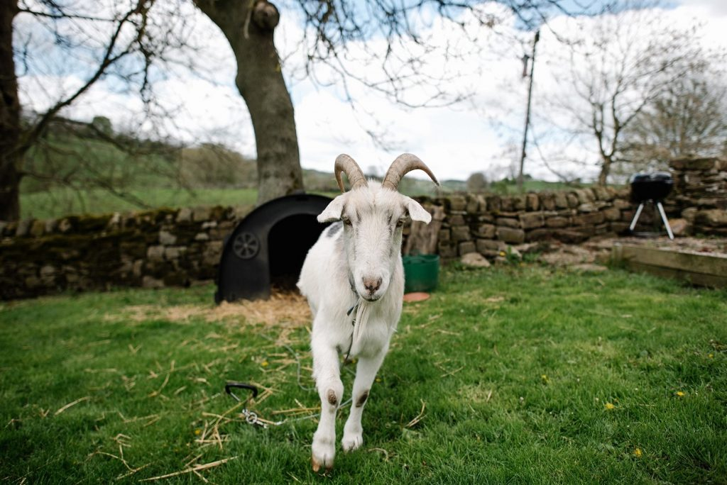 Farm animals at Gratton Grange Farm wedding
